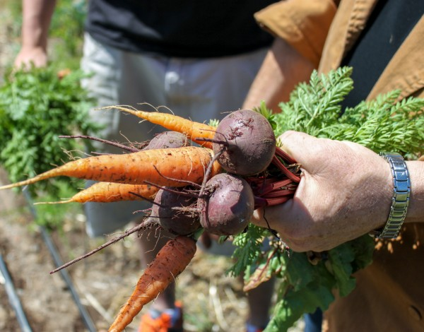 Carrots and Beets from the Farm, Grown Biodynamically